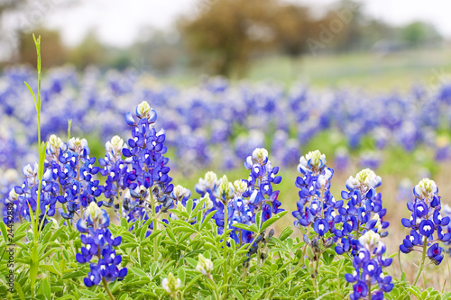 Fotografie, Obraz  Texas Bluebonnet wildflowers