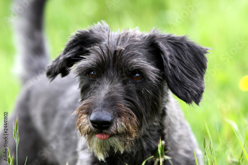 Dackel-Mischling - Buy this stock photo and explore similar