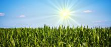 Sonne über Maisfeld
