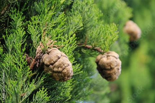 Zypresse Zapfen - cypress cone 01 Canvas