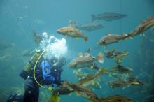 Diver Feeding Fish, Atlantic S...