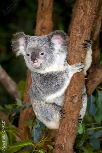 Printed kitchen splashbacks Australia Koalabär