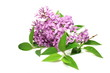 Lilac isolated on white