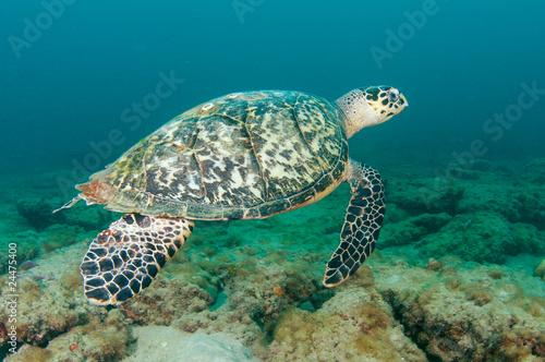 Fotografie, Obraz  Hawksbill Sea Turtle-Eretmochelys imbriocota on a reef.