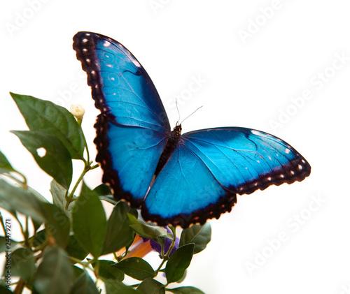 Valokuva  Blue Morpho