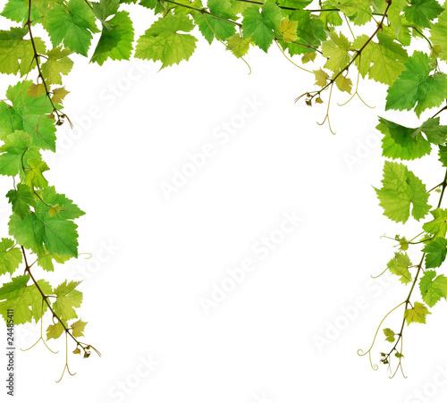 Fresh grapevine border on white background Fototapete