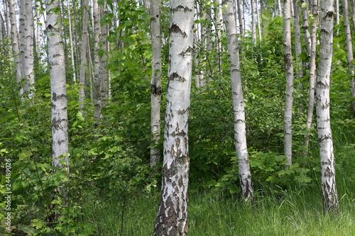 Deurstickers Berkbosje las brzozowy