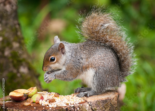 Grey Squirrel eating Poster
