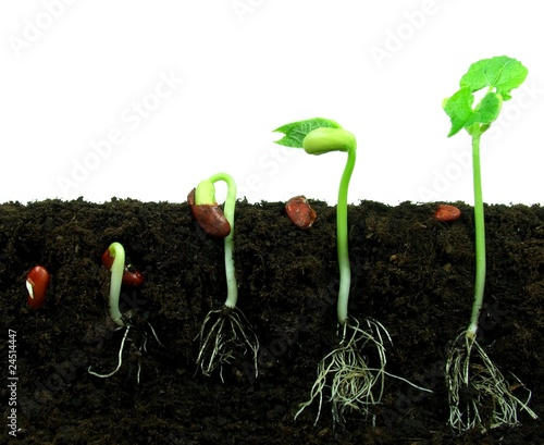 Vászonkép Beans seeds germinating in soil