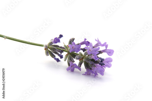 Photo Stands Lavender Branche de lavande