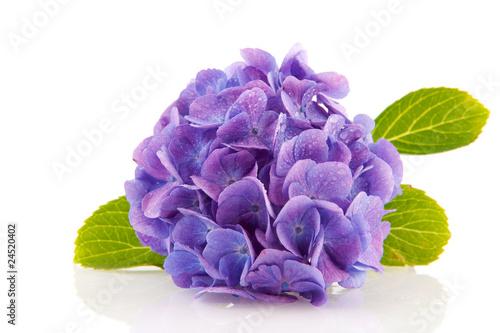 Spoed Foto op Canvas Hydrangea blue Hydrangea