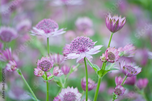 Pink flower background Astrantia Major Wallpaper Mural