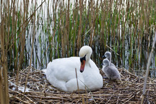 Mother Swan And Cygnets On Nest