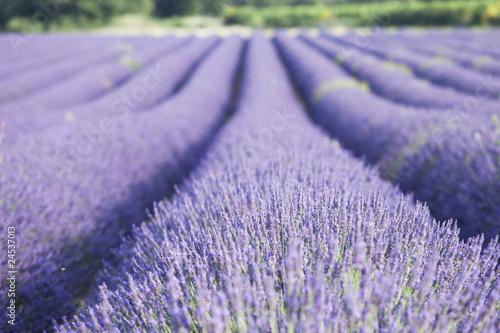 Poster Lavendel champs de lavande