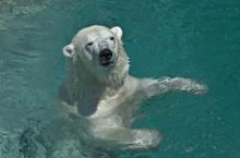 Polar Bear Swims In The Pool
