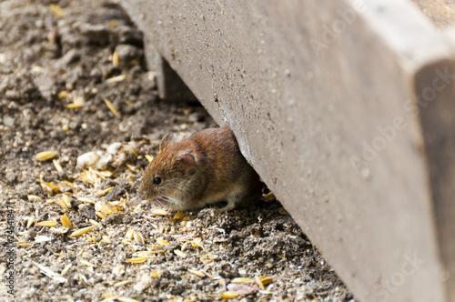 mysz #24541847