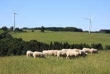 Sheep Grazing Near Wind Turbines