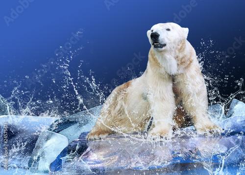 Recess Fitting Polar bear White Polar Bear Hunter on the Ice in water drops.