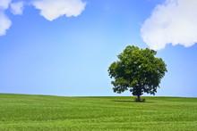 Lonely Tree In Beautiful Green Meadow