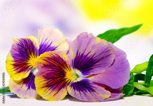 Papiers peints Pansies Sweet pansies