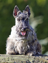 Scottish Terrier And Tree