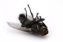 Dead Fly Over White
