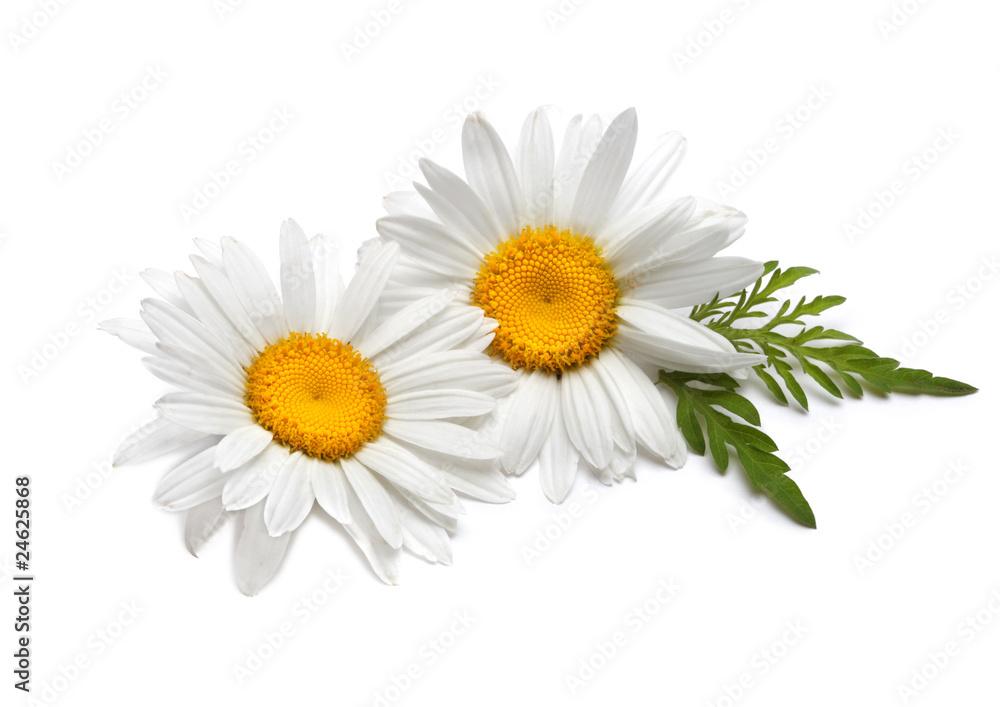Fototapety, obrazy: chamomiles with leaf on white