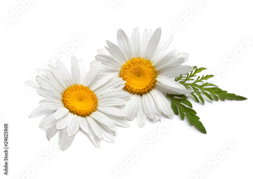 Photo sur Aluminium Marguerites chamomiles with leaf on white