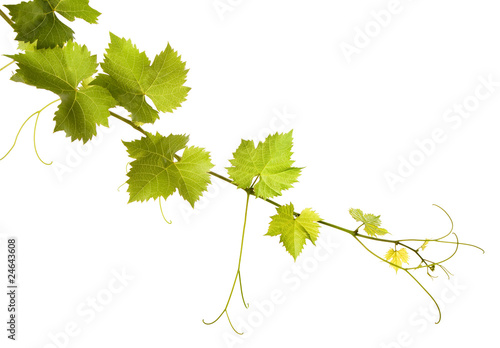 Fényképezés  Branch of grape vine on white background
