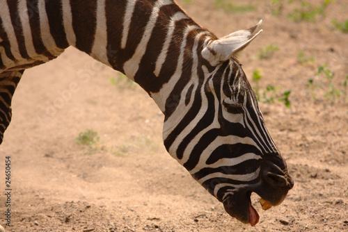 Uśmiech zebry