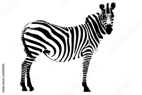 Spoed Foto op Canvas Zebra zebra