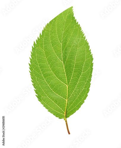 cherry-leaf-pojedynczo-na-bialym-tle