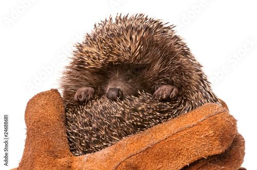Fotografía  Hedgehog