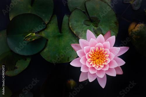 Garden Poster Lotus flower The Top view of Beatiful Pink Lotus