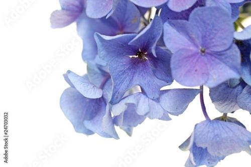 Poster de jardin Hortensia hortensien blüte makro hintergrund
