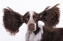 Lustig Cocker Spaniel Big Ears Crazy