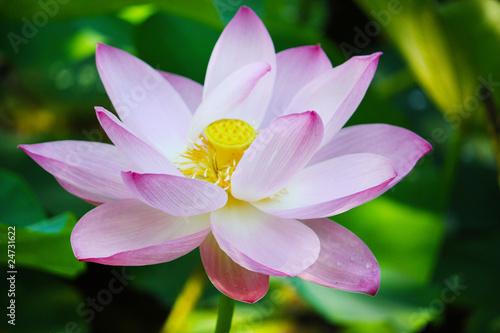Staande foto Lotusbloem флора