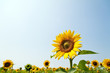 Sonnenblumen in leuchtendem Gelb auf einem Feld