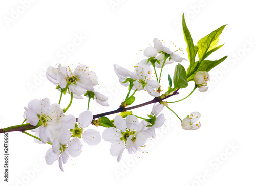 white cherry blooming close-up