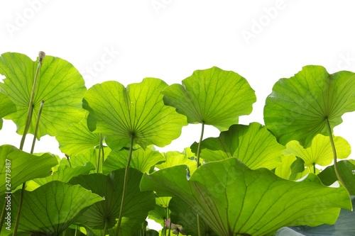 Garden Poster Lotus flower Green lotus leaf