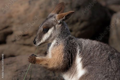 Australian Yellow Footed Rock Wallaby
