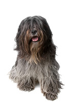 Dutch Bearded Collie Dog Isola...