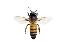 Bee,  Apis Mellifera