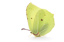 Bimstone Butterfly