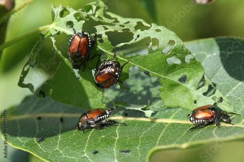 Obraz na plátne Japanese Beetle -  Popillia japonica