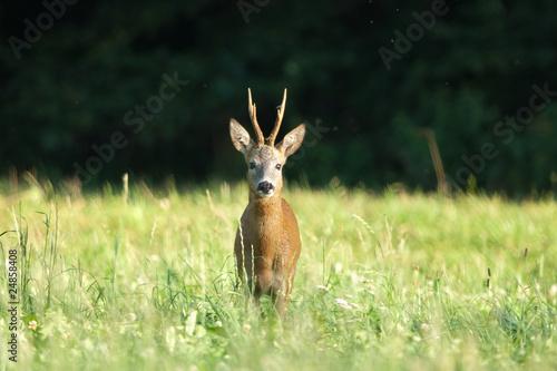 Montage in der Fensternische Reh Reh, Roe deer, Capreolus capreolus