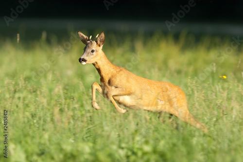 In de dag Ree Reh, Roe deer, Capreolus capreolus