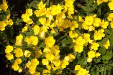 Oenothera, Evening Primrose