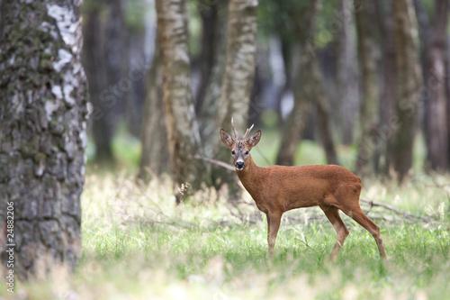 Foto op Canvas Ree chevreuil brocard cervidé bois animal sauvage mammifère