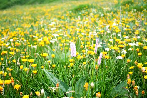 Papiers peints Jaune Prairie fleurie